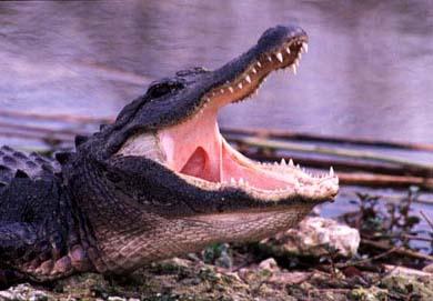 Как содержать экзотическое животное в домашних усдовиях? Крокодил.