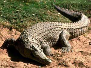 Злые крокодилы…