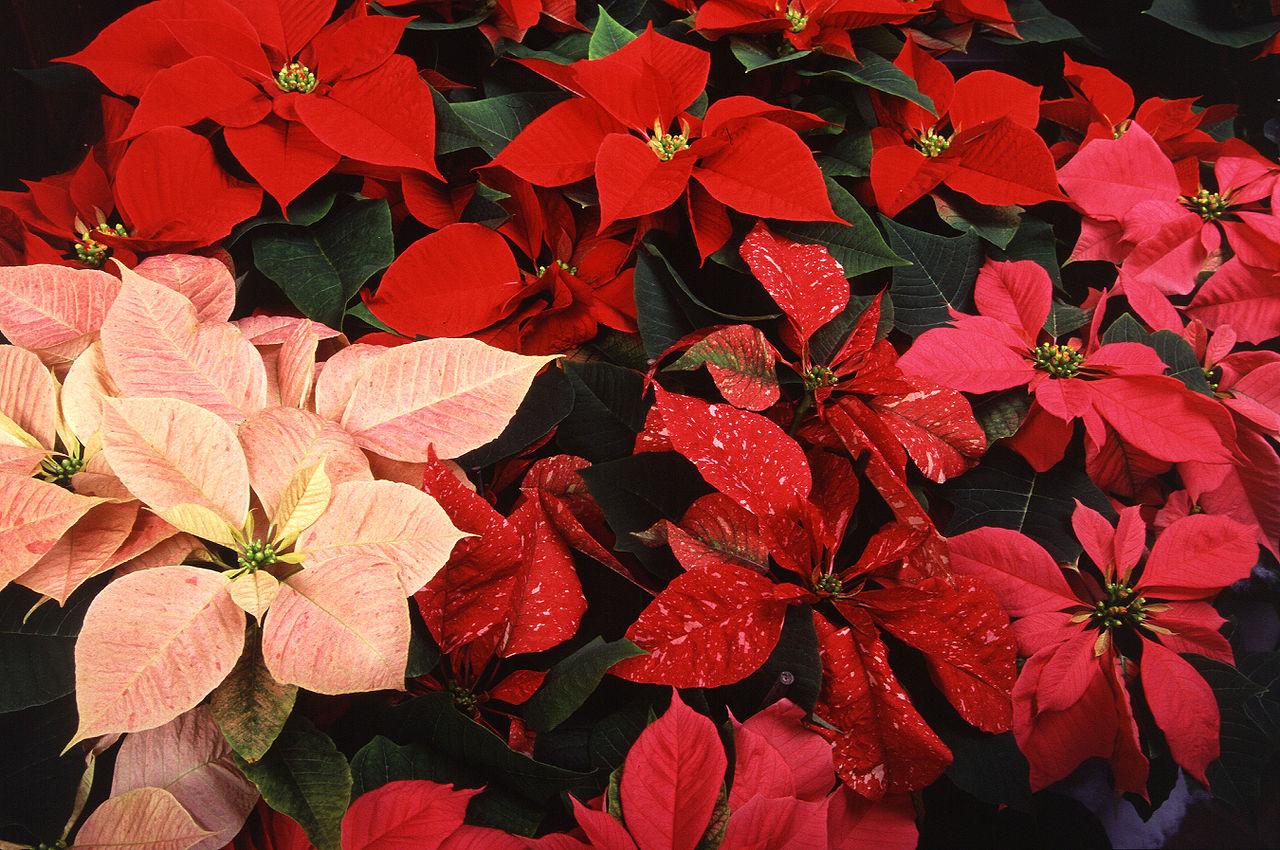 По аналогии вы сможете сами сделать молочай с розоватыми, красными и пестрыми листьями