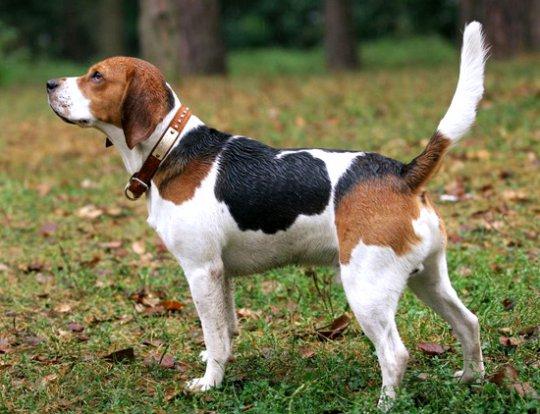 Как выбрать себе собаку в соответствии с темпераментом. Часть 2