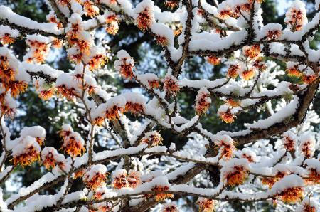 Сады Бутчартов (The Butchart Gardens) гамамелис дерево цветы в снегу