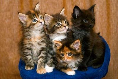Как выглядят мейн-куны. Большие домашние кошки