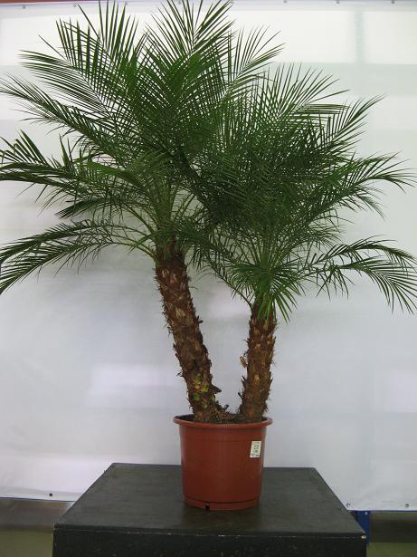 Как вырастить дома пальму?