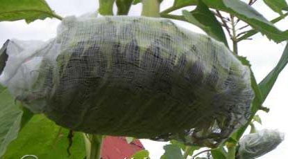 Как вырастить подсолнухи