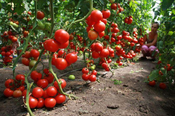 Как ухаживать за помидорами?
