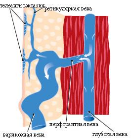 строение и расположение вен и сосудов в теле человека