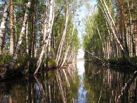 Карелия река Сун березы лес