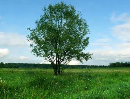 Дерево средней величины за 24 часа восстанавливает столько кислорода, сколько...