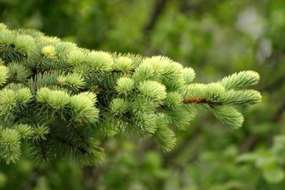 Соберите свежие сосновые иглы светлого цвета