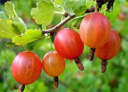ягоды крыжовника на ветке макро