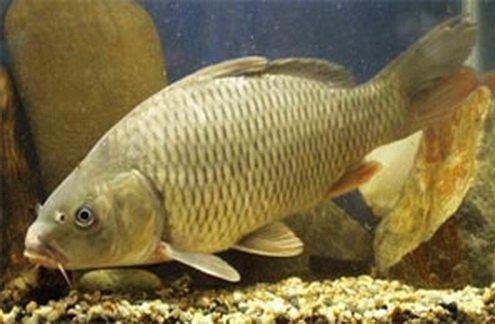 Как разводить речную рыбу у себя на приусадебном участке?