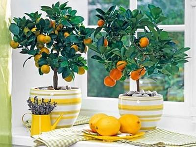 Как вырастить у себя дома лимон?