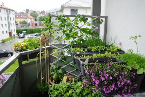 Как выращивать пряные растения на балконе
