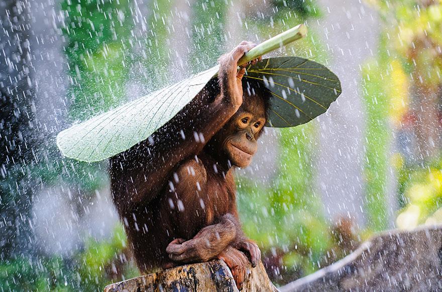 Орангутанг под дожем - всемирный фотоконкурс от Sony