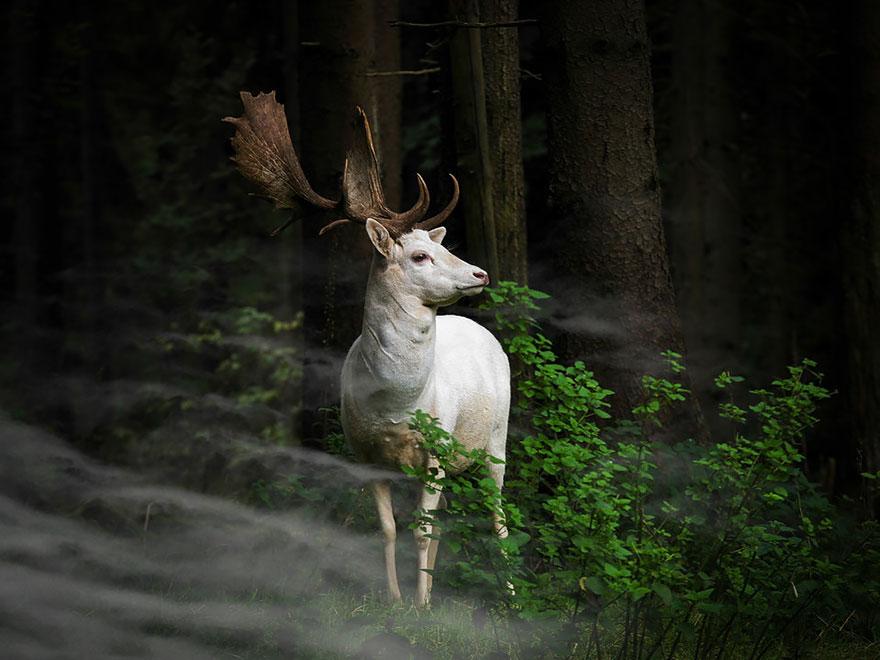 Утренний час - белая лань - конкурс фотографии