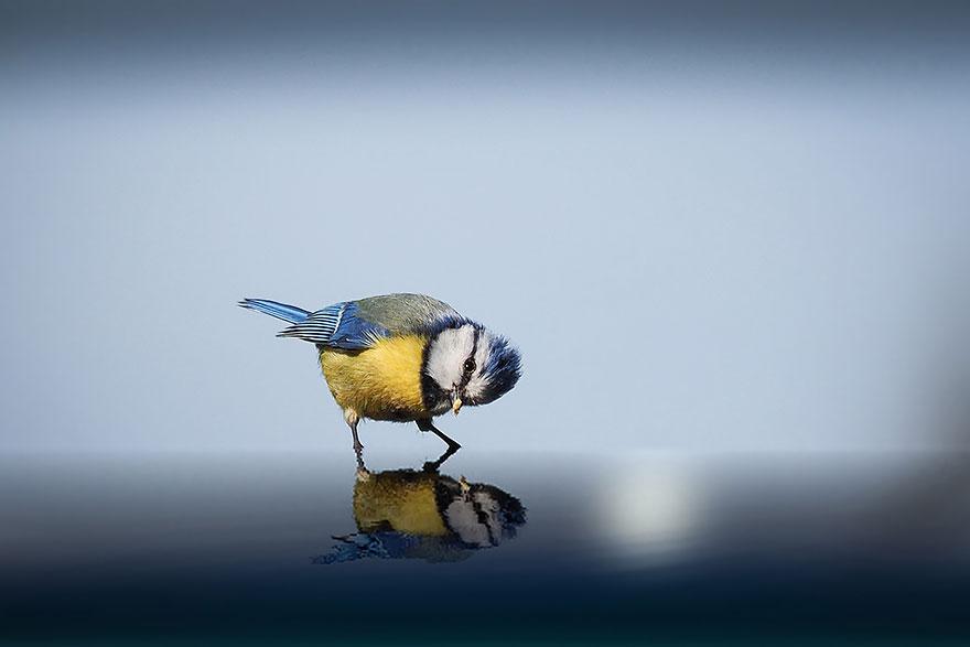 Лазоревка (синица), смотрящая на свое отражение в воде