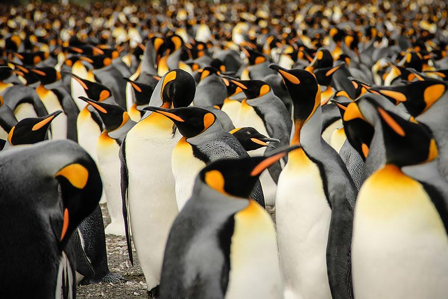 В толпе королевских пингвинов - фотоконкурс