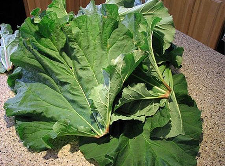 Листья ревеня помогут вам создать крайне эффективный натуральный пестицид