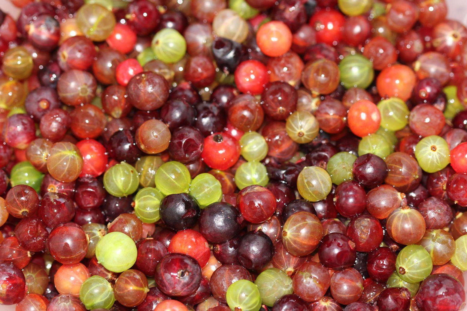 собранные и замоченные/промытые ягоды крыжовника разных сортов зеленые красные темные