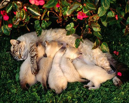 это именно то, что делал котенок лапками в тот период, когда его еще опекала мать, и когда он уютно устраивался около ее живота