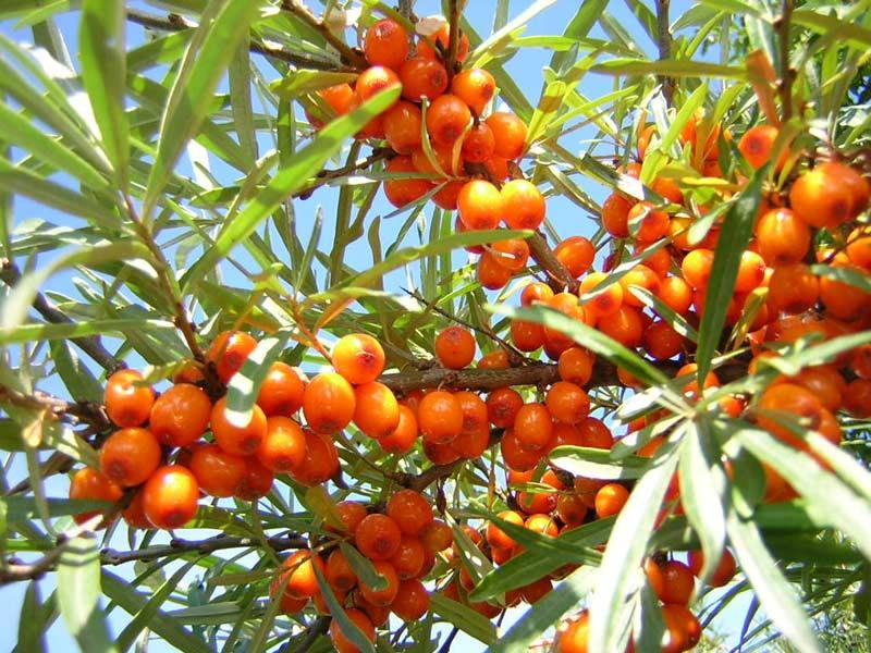 созревшие ягоды облепихи на кусте