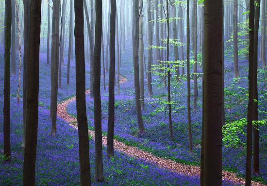 Весна в лесу Халлербос (Hallerbos), Бельгия - автор снимка Kilian Schönberger.