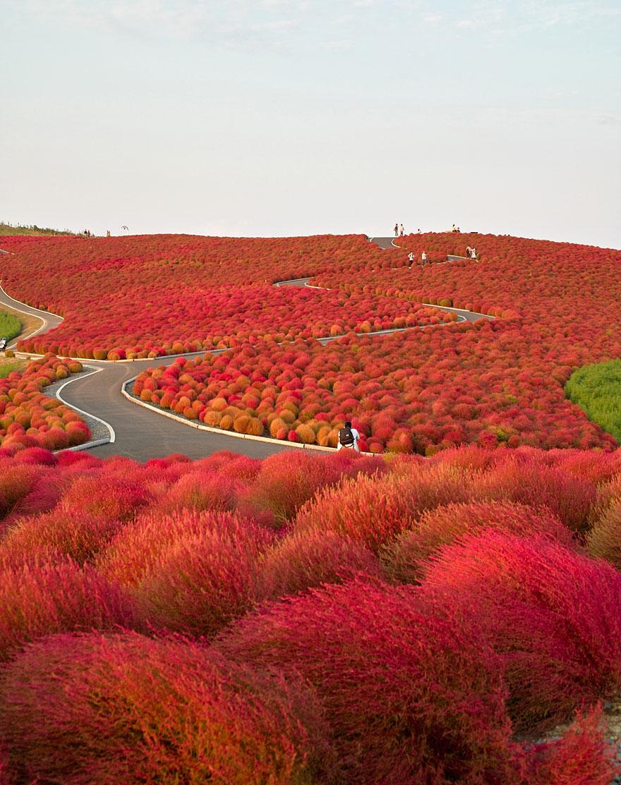 Путь через прибрежный парк Хитачи (Hitachi Seaside Park) в Японии, автор - nipomen2