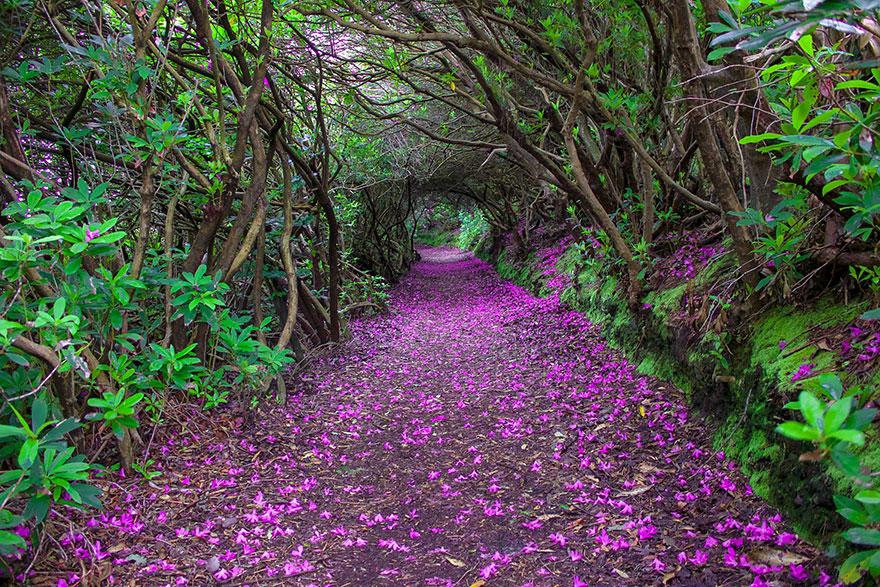 Коридор Рододендронов в парке Ринагрос (Reenagross Park): Кенмар, Ирландия - автор Robert Ziegenfuss