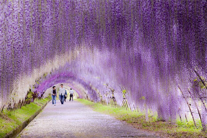 Путь через Тоннель цветов глицинии (Wisteria Flower Tunnel Path) в Японии
