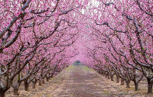Под сенью цветущих деревьев весной, автор - Emanuel Costinas