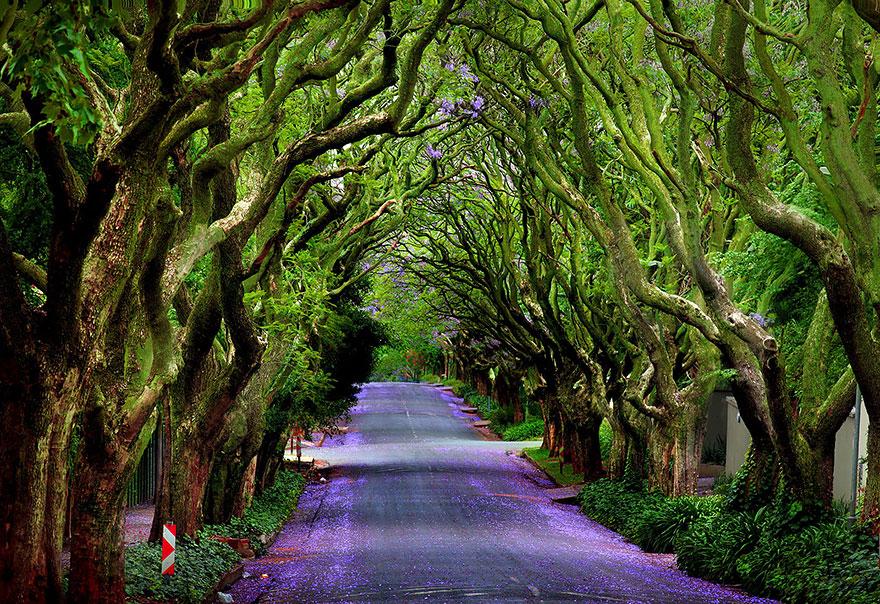 Аллея деревьев Джакаранды (Jacaranda Tree Alley), автор George Veltchev