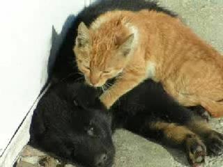 ти действия даже наблюдались и у котов/кошек по отношению к собакам