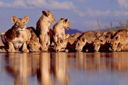 тигрицы на водопое