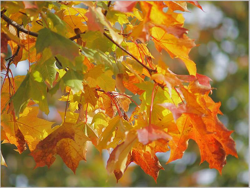 Золотая осень - прекрасное время сделать домашний гербарий.  Этим можно занять как самостоятельно, так и с младшими...