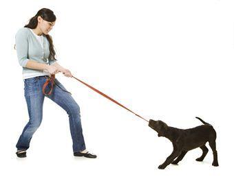 На первых порах щенок станет тащить вперед, хвататься зубами за свой конец поводка от шлейки и тянуть его на себя