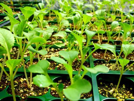 Купите небольшие саженцы-ростки выбранной зелени в садовом центре или специализированном магазине