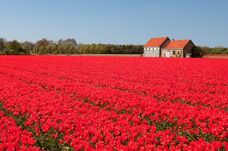 Как выращивают тюльпаны в Голландии