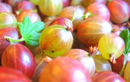 собранные ягоды крыжовника с листочками