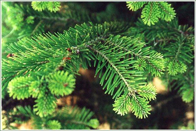 Как правильно выбрать елку к Новому Году. Рекомендации по выбору живой елки.