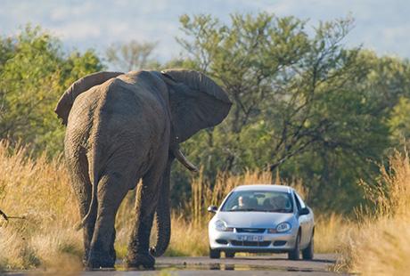 Южная Африка, слон около машины