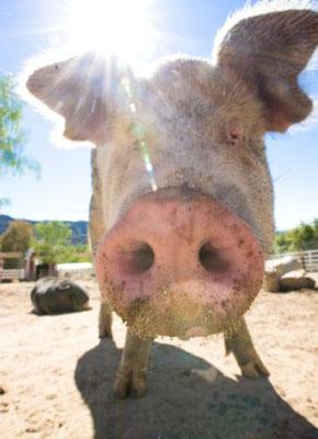 Как свиной грипп захватывает мир