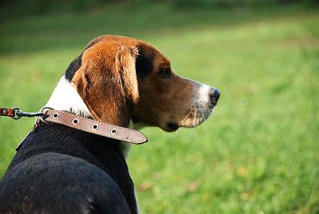 Бигли, при всем их весе в 9-13 кг, пользуются дурной славой любителей с легкостью утянуть за собой хозяина на прогулках.