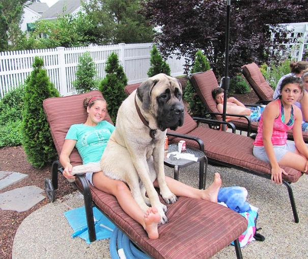 громадный пес сидит на хозяйке - та лежит на шезлонге у бассейна