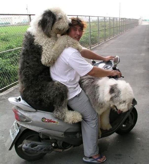 юноша перевозит двух бобтейлов на скутере