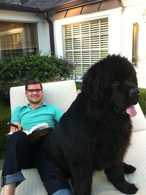 огромный щенок ньюфаундленда