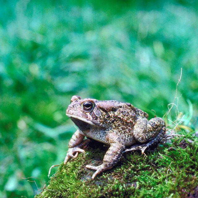 От лягушек появляются бородавки