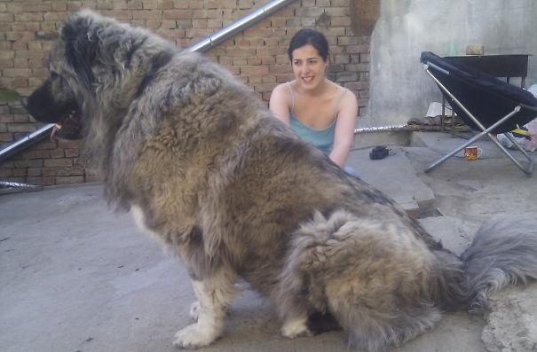 """огромный пес для """"принцессы"""""""