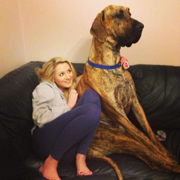 Как выглядят действительно огромные собаки, не осознающие своих размеров