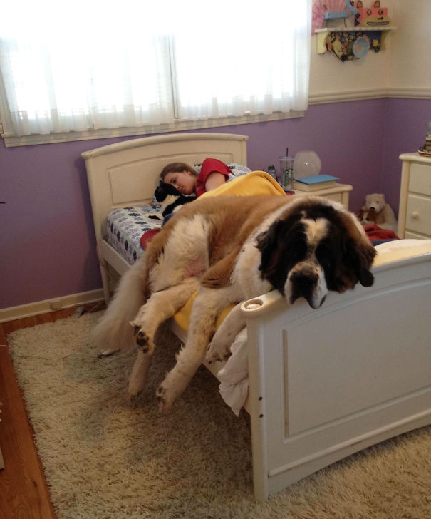 московская сторожевая на кровати дочери с котом