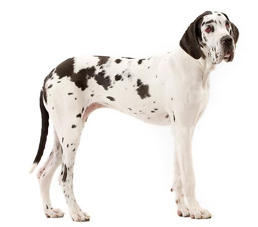 Как выбрать собаку крупной породы (Часть 1)